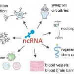 ncRNAPain-Objectives